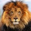 Safari аватар
